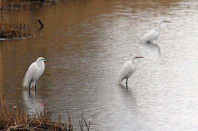 Poster featuring the photograph Snowy Egret Trio by Mark J Seefeldt