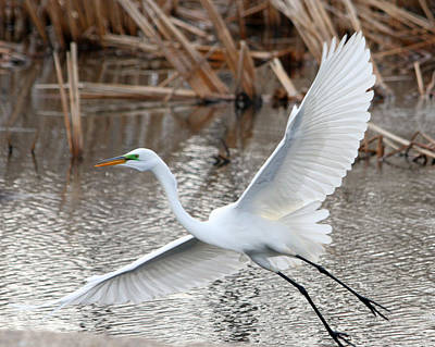 Poster featuring the photograph Snowy Egret Wingspan by Mark J Seefeldt