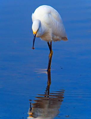 Snowy Egret.egretta Thula. Poster by Eyal Nahmias