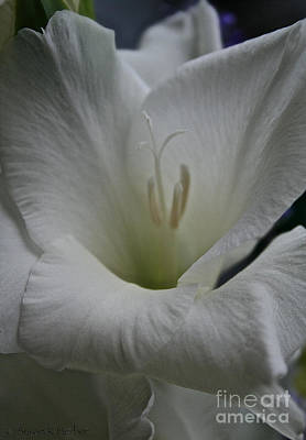 Snowy Gladiolus Poster by Susan Herber