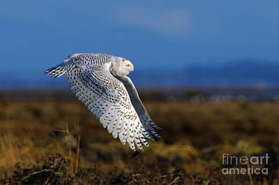 Snowy Owl 1b Poster