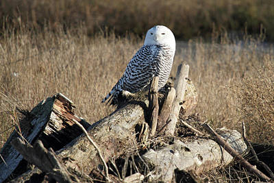 Snowy Owl At Boundary Bay B.c Poster by Pierre Leclerc Photography