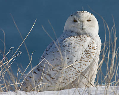 Snowy Owl Profile Poster
