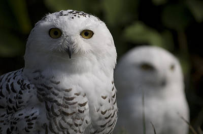 Snowy Owls Bubo Scandiacus At A Zoo Poster by Joel Sartore