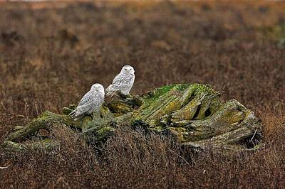 Poster featuring the photograph Snowy Owls by Scott Holmes