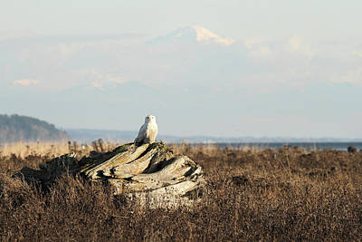 Snowy Owls With Mount Baker Poster by Pierre Leclerc Photography