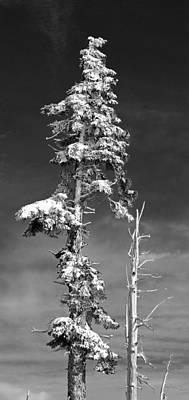 Snowy Pine Tree Poster