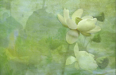 Soft Lillies Poster by Carolyn Dalessandro