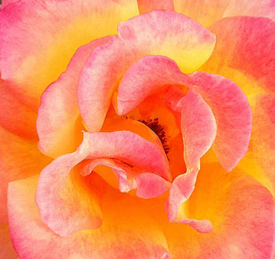 Soft Petals Poster by Becky Lodes