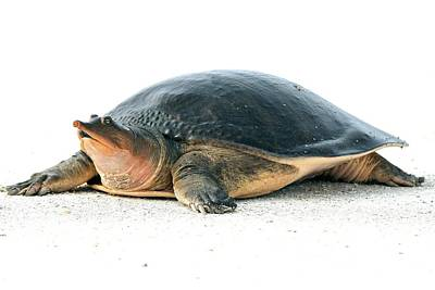 Softshell Turtle Poster