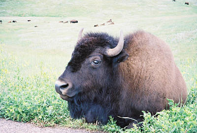 Poster featuring the photograph South Dakota Bison by David Wohlfeil
