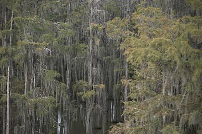 Spanish Moss-draped Trees In Alabama Poster