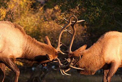 Sparring Bull Elk 82 Poster
