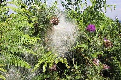 Spear Thistle Seeds (cirsium Vulgare) Poster