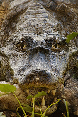 Spectacled Caiman Caiman Crocodilus Poster by Pete Oxford