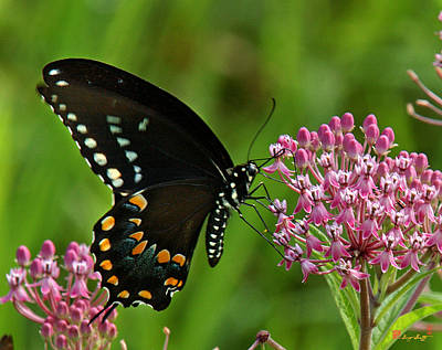 Spicebush Swallowtail Din039 Poster by Gerry Gantt