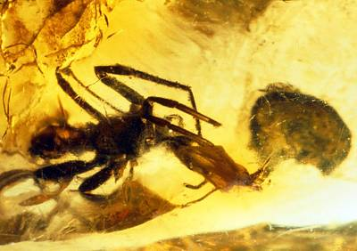 Spider In Amber Poster by Sinclair Stammers