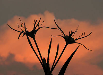 Spider Lilies At Sunset Poster