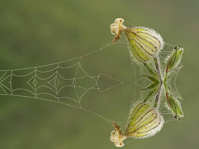 Spiderweb And Flower  Poster