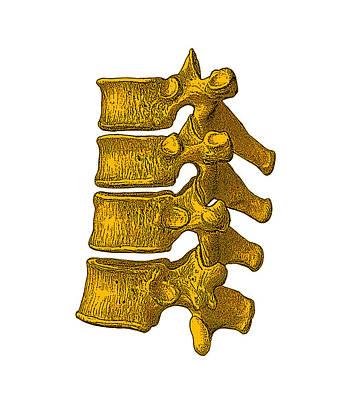 Spinal Vertebrae Poster by Mehau Kulyk
