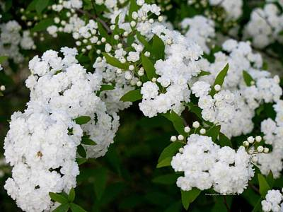 Spirea Blooms Poster by Maria Urso