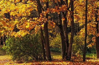 Splendor Of Autumn. Maples In Golden Dresses Poster by Jenny Rainbow