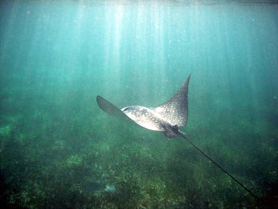Poster featuring the photograph Spotted Eagle Ray by David Wohlfeil