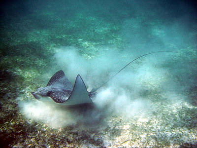 Poster featuring the photograph Spotted Eagle Ray Feeding by David Wohlfeil