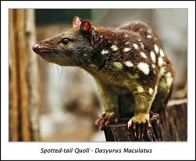 Spotted-tail Quoll Poster by Kaye Menner