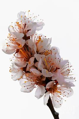 Spring Blooms Poster by Robert Bales