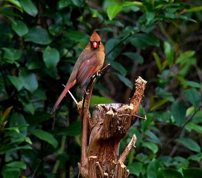 Spring Cardinal Poster by Paul  Wilford