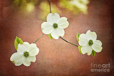 Poster featuring the photograph Spring Dogwood Blooms by Cheryl Davis