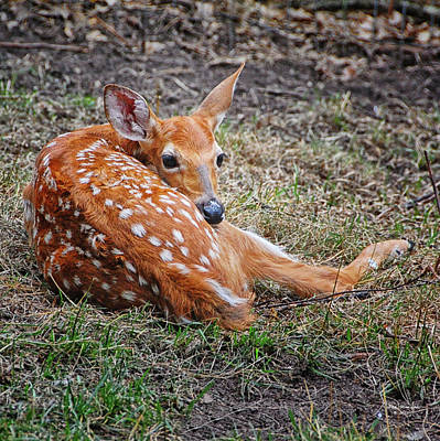 Spring Fawn Poster