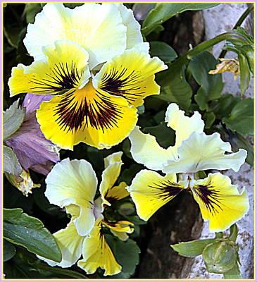 Spring Pansies Poster