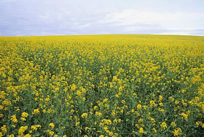 Springtime, Field Of Mustard Seed Poster by Rich Reid