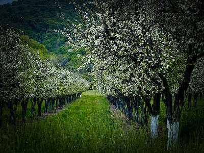 Springtime In The Orchard II Poster by Bill Gallagher