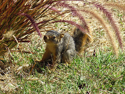 Squirrel In The Grass Poster