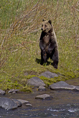 Poster featuring the photograph Standing Grizzly by J L Woody Wooden