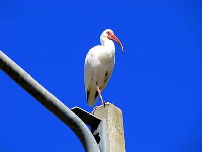 Standing Ibis Poster