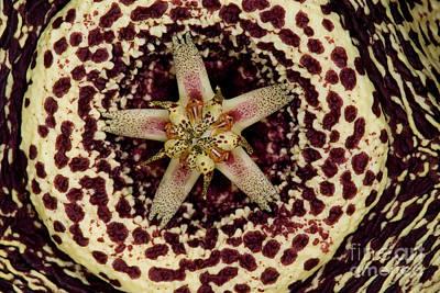Stapelia Flower Poster by Dant� Fenolio