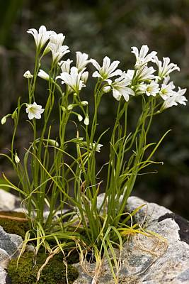 Star-of-bethlehem (gagea Graeca) Poster by Bob Gibbons