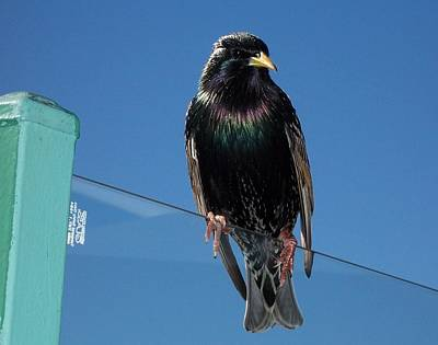 Starling At Santa Monica Pier Poster by Peter Mooyman