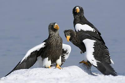 Stellers Sea Eagle Trio Poster by Sergey Gorshkov