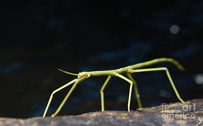 Stick Insect Poster by Johan Larson
