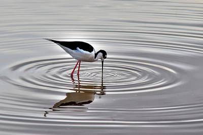 Poster featuring the photograph Black-necked Stilt by Tam Ryan