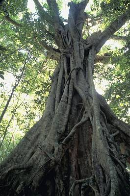 Strangler Fig, Low Angle View Poster by Axiom Photographic