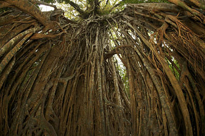 Strangler Fig Tree, Ficus Virens, Known Poster by Tim Laman