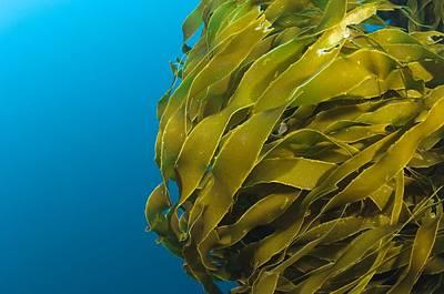 Strap Kelp Poster