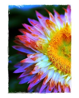 Poster featuring the photograph Strawflower by Judi Bagwell