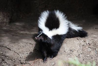 Striped Skunk - 0002 Poster by S and S Photo